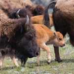 Cow bison and calves in Lamar Valley; National Park Service; Neal Herbert; May 2015